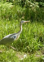 The Cragg Vale Heron by Anne Beard